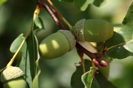 Eikels van het Engels Eik Quercus robur Stockfoto