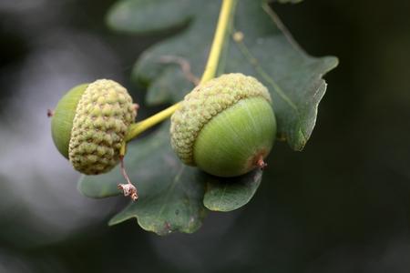 english oak: Acorns of the English Oak Quercus robur