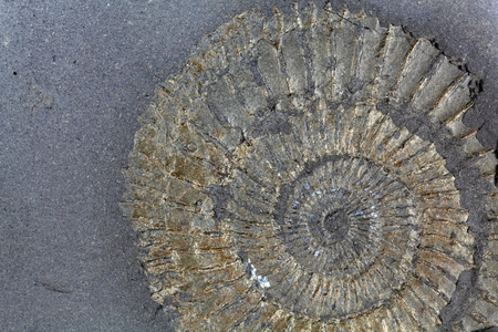 A pyritized ammonite from the Lower Jurassic of Germany Holzmaden