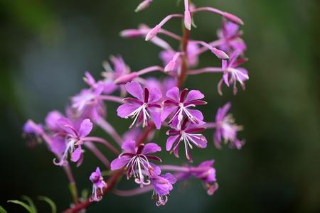 angustifolium: Flowers of fireweed Chamerion angustifolium. Stock Photo