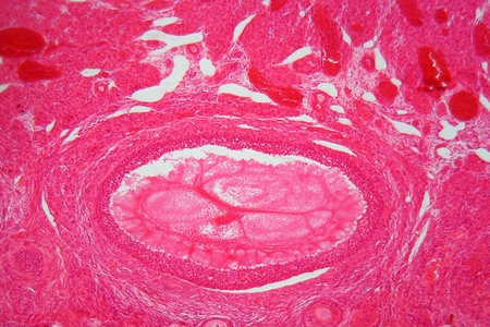ovary: A section trough ovary cells under the microscope.