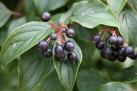 Fruits of the Common Dogwood Cornus sanguinea. Banque d'images