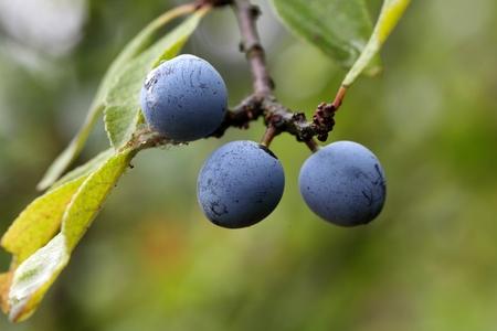 prunus: Fruits of the blackthorn Prunus spinosa.