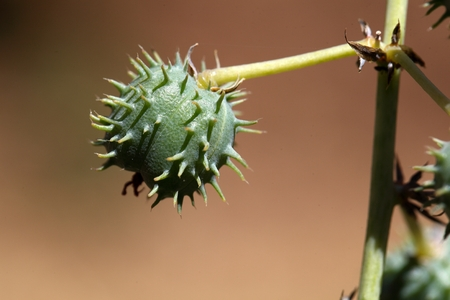 biotope: Fruits of the Ricinus Castor oil plant.