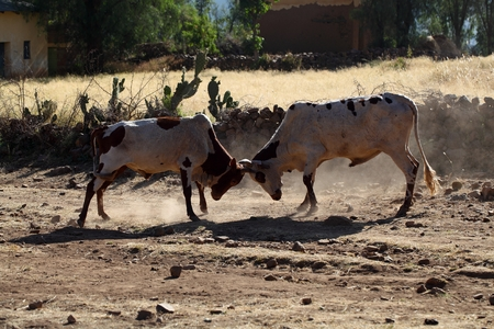 fighting bulls: Two fighting bulls in a rural area in Africa.
