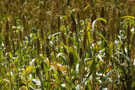 sorgo: Cabezas de semillas de sorgo en un campo en �frica. Foto de archivo