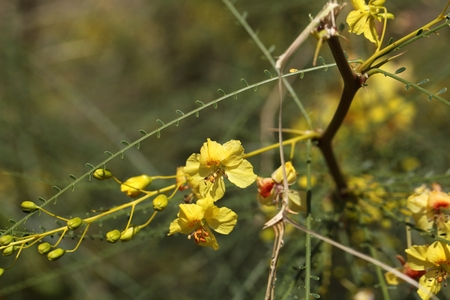 aculeata: Flowers of the Jerusalem Thorn Parkinsonia aculeata. Stock Photo
