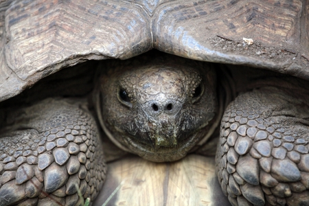 saurian: Head of a African spurred tortoise Centrochelys sulcata. Stock Photo