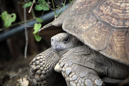 saurian: Head of a African spurred tortoise (Centrochelys sulcata).