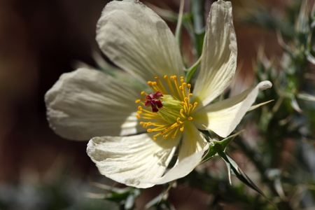 mexicana: Flower of Mexican prickly poppy Argemone mexicana.