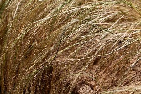 Teff veld, teff is gierst en het belangrijkste voedsel in Ethiopië. Stockfoto