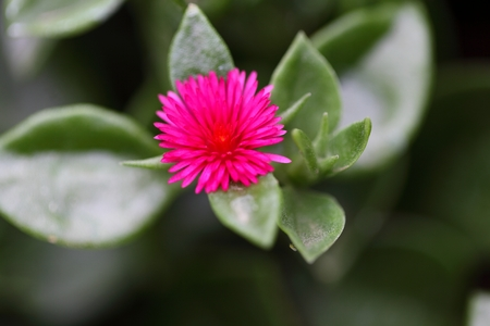 iceplant: A flower of Aptenia cordifolia a succulent flower of the iceplant family.
