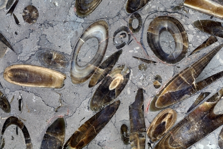 fossils: A polished surface of Belemnite Fossils from the Lower Jurassic of Southern Germany. Stock Photo