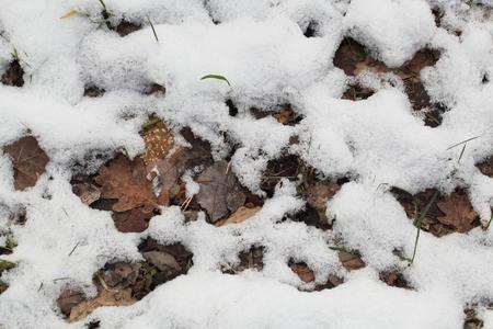 hojas antiguas: las hojas viejas Fozen con nieve como fondo.