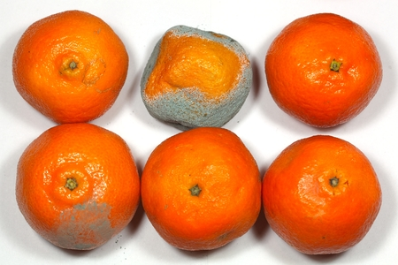 clementine fruit: Rotten and fresh tangerine fruit with mold.