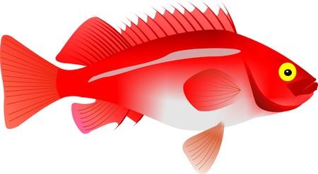 perch: Graphic of an rosefish Sebastes norvegicus.