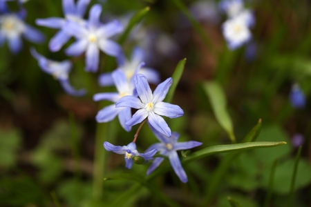 glory of the snow: Bossiers glory of the snow or Lucile s glory of the snow flower (Chionodoxa lucilia)