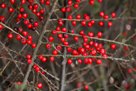 biotope: Small red berries on a Cotoneaster bush. Stock Photo