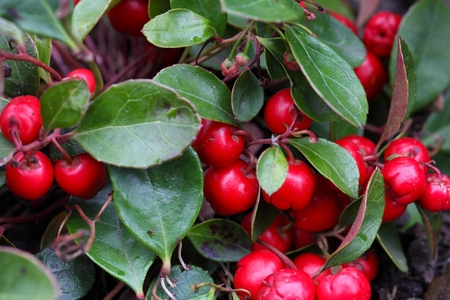 Red berries on a teaberry bush Gaultheria procumbens.