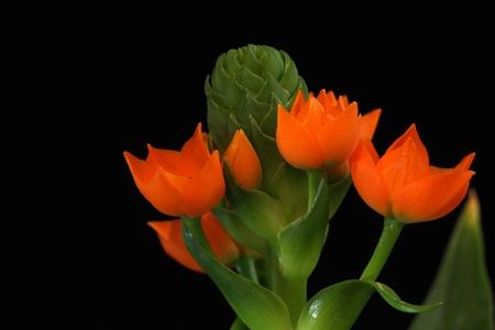 ornithogalum dubium: Flower of the Star of Bethlehem Plant (Ornithogalum dubium)