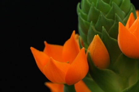 Flower of the Star of Bethlehem Plant (Ornithogalum dubium)