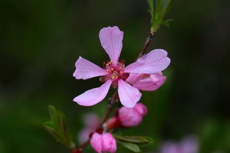 prunus: Flowers of the Russian Almond Tree (Prunus tenella).