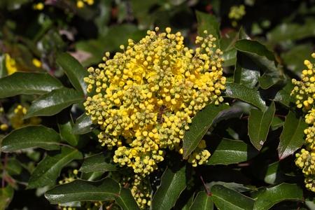 ornamental horticulture: Flowers of a Oregon grape bush  Mahonia aquifolium.