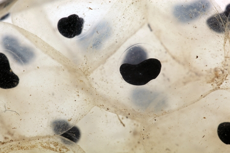 spawn: A macro photo of frog spawn from a European grass frog.