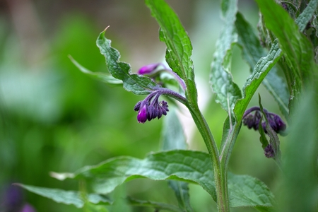 Flowers and blossoms of common comfrey or true comfrey (Symphytum officinale).