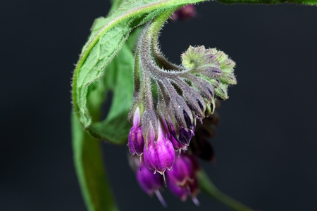 symphytum officinale: Flowers and blossoms of common comfrey or true comfrey (Symphytum officinale).