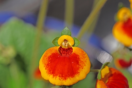 Flowers of a ladys purse flower, Calceolaria ?- herbeohybrida