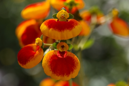 calceolaria: Flowers of a ladys purse flower, Calceolaria ?- herbeohybrida