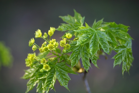 norway maple: Flowers of a Norway Maple Tree, Acer platanoides.