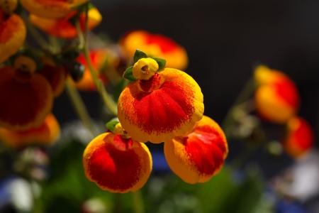 calceolaria: Flowers of a ladys purse flower, Calceolaria ?- herbeohybrida