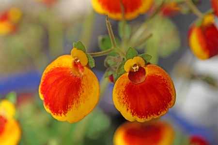 calceolaria: Flowers of a ladys purse flower, Calceolaria �- herbeohybrida