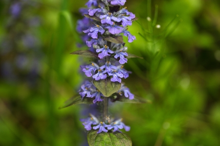 bugle: Bugle flowers,  Ajuga reptans. A wild growing, traditional medical plant.