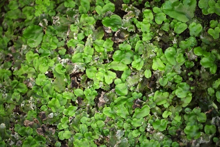 liverwort: Leaves of a thallose liverwort as background.