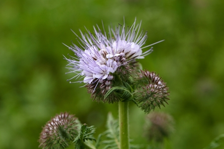 lacy: Flowers of the lacy phacelia, Phacelia tanacetifolia. Stock Photo