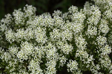 hoary: Flowers of whitetop or hoary cress, Lepidium draba. Stock Photo