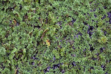 invasive plant: Macro photo of water ferns, of the genus Azolla sp.