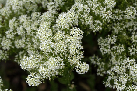 hoary: Flowers of whitetop or hoary cress, Lepidium draba. Stock Photo