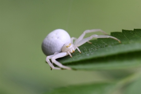 goldenrod spider: A macro photo of a goldenrod crab spider or flower crab spider (Misumena vatia).
