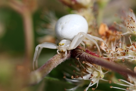 goldenrod crab spider: A macro photo of a goldenrod crab spider or flower crab spider (Misumena vatia).