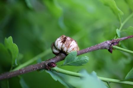 gall: Gall of the gall wasp Biorhiza pallida on an oak tree.