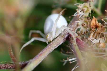 A macro photo of a goldenrod crab spider or flower crab spider (Misumena vatia).