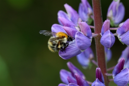 bombus: A common carder bee (Bombus pascuorum)  on a lupin flower.