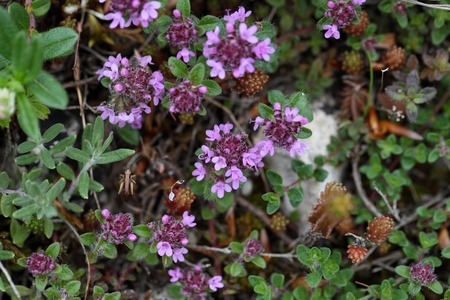 thymus: A macro photo broad-leaved thyme or lemon thyme (Thymus pulegioides), a wild growing species of thyme.