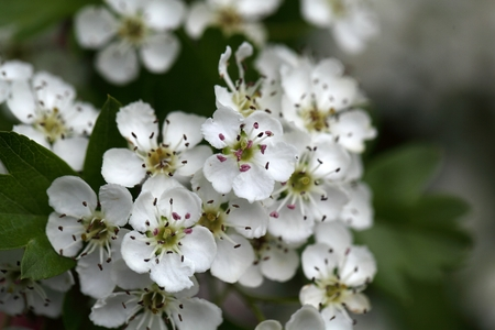 herbalism: Flowers of a common hawthorn or single-seeded hawthorn bush (Crataegus monogyna). The plant is used in traditional herbalism.