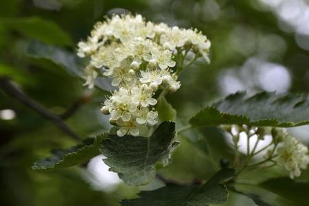 tree service: Flowers of a wild service tree (Sorbus terminalis). Stock Photo