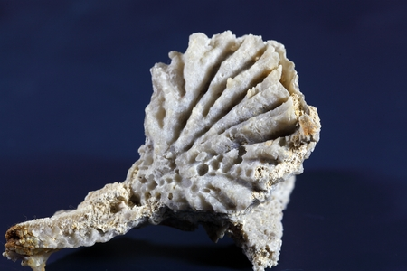 replaced: A macro photo of a fossil clam (Pectinoida) from the Upper Jurassic of Nattheim in Southern Germany. The shell material is replaced by silica. Stock Photo